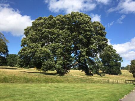 Hartsheath tree in the grounds