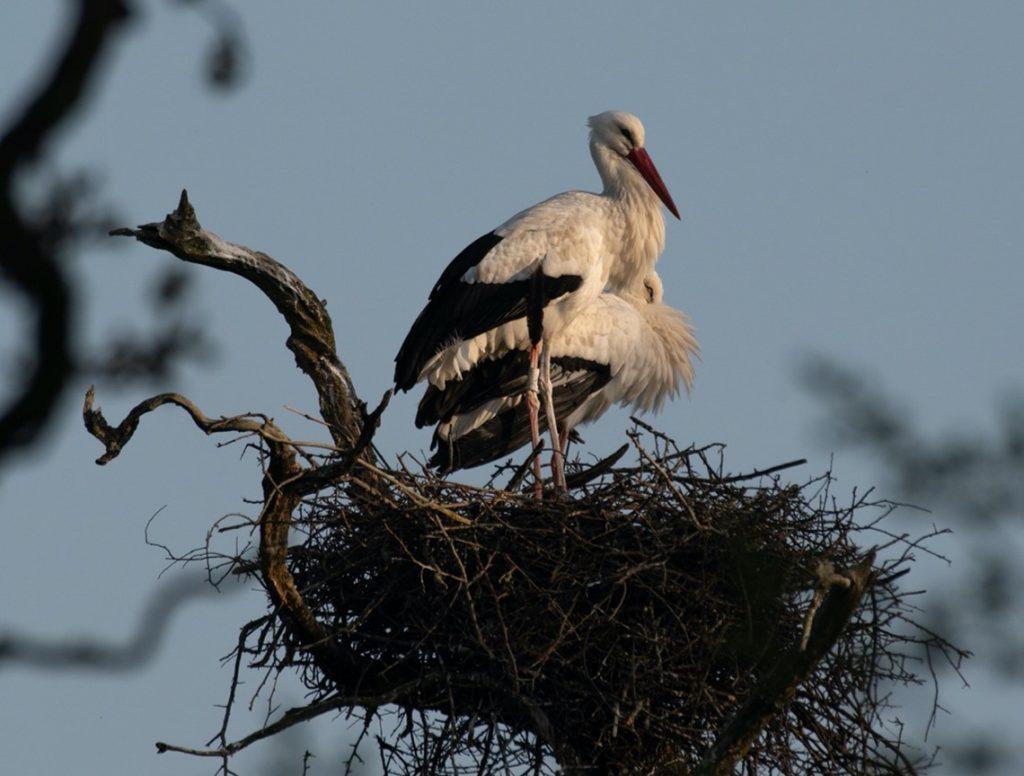 Knepp Estate breeding pair of white storks on their nest