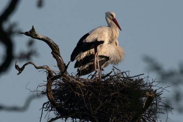 Knepp Estate breeding pair of white storks on their nest