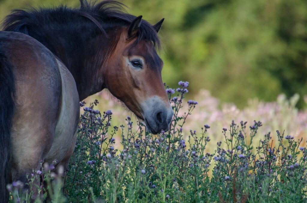 Knepp Estate exmoor pony grazing on thistles