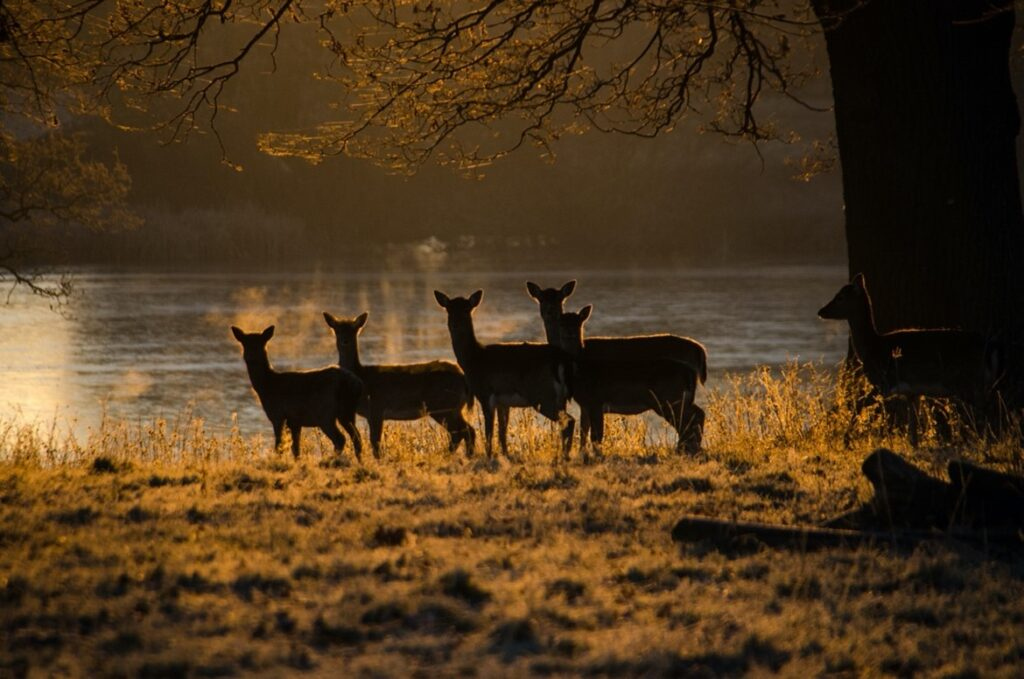 Knepp Estate herd of roe deer on the shores of Knepp Lake at dawn