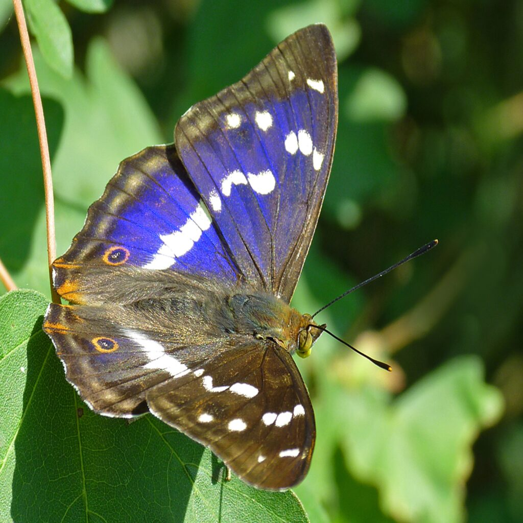 Knepp Estate Purple Emperor, one of Britain's largest and rarest butterfiles - photo by Neil Hulme