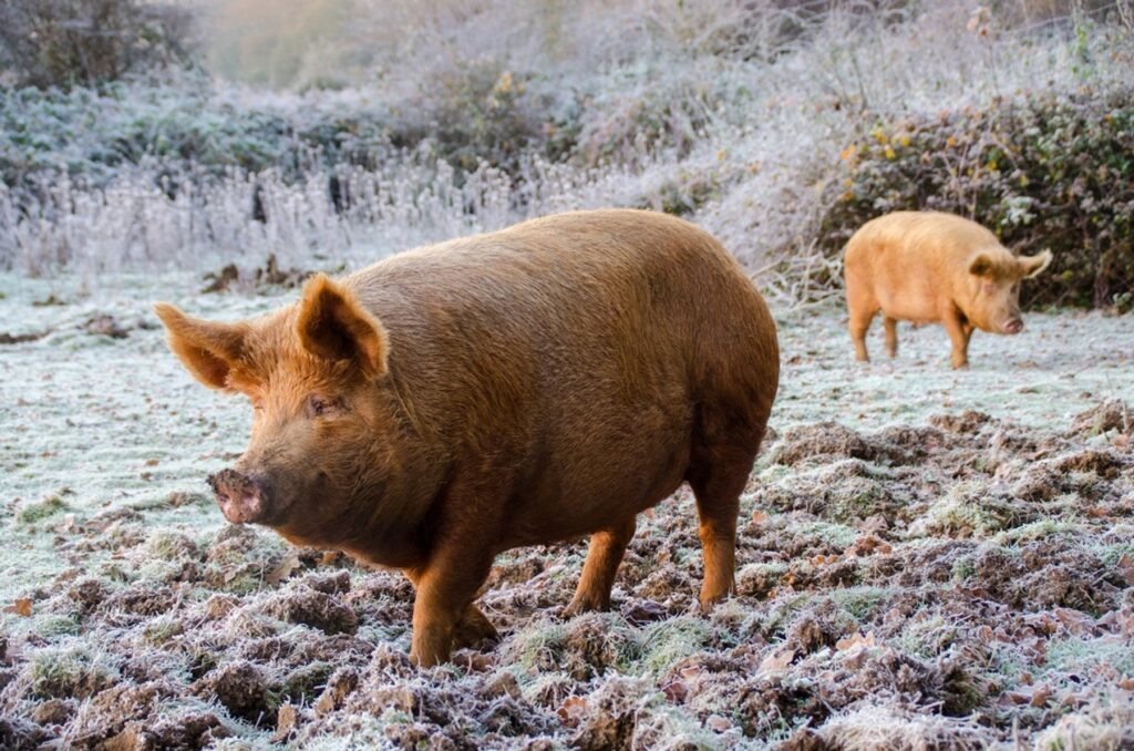 Knepp Estate Tamworth pigs hunting for acorns, rhizomes and worms in winter
