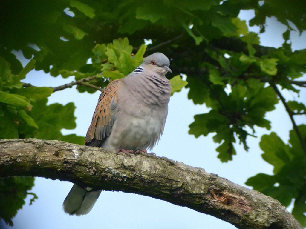 Knepp Estate turtle dove resting in an oak tree