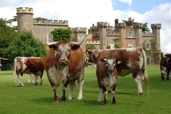Knepp Estate wheat crop replaced by a free-romaing herd of Longhorn cattle