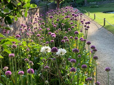 Alliums at Riverhill Garden