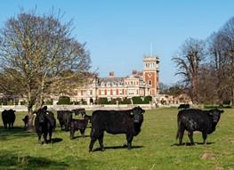 Cattle Somerleyton