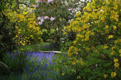 Small Azaleas at Riverhill Garden