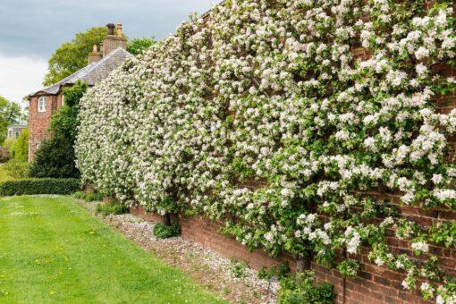 Gordon Castle Walled Garden fruit row