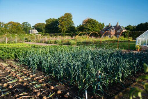 Gordon Castle Walled Garden vegetable crop