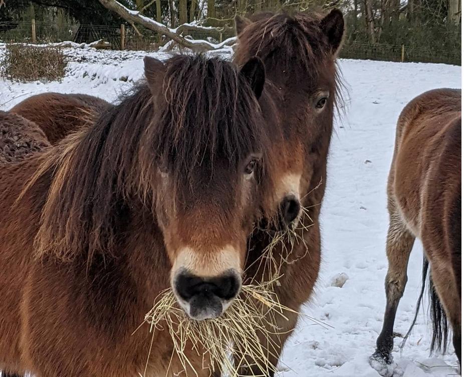 Hardy Exmoor ponies in the snow at Somerleyton Estate