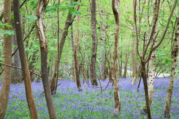 Hever Castle bluebells