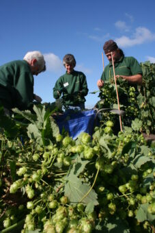 Hops in the Walled Garden credit Harewood House Trust (2)
