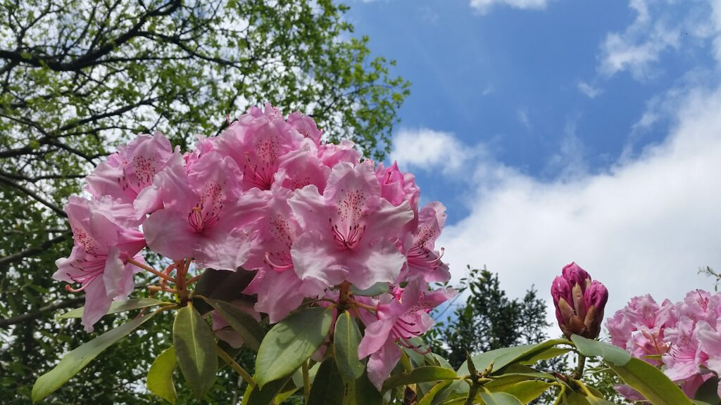 Rhododendron at Kelly House