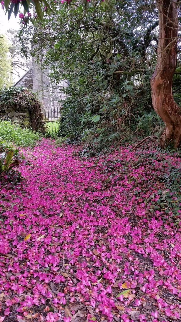 Rhododendron path at Kelly house