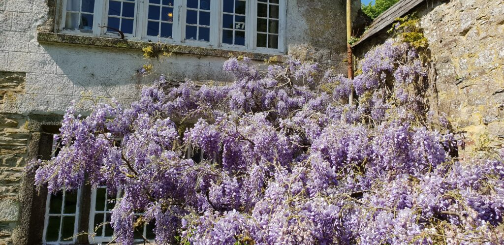 Wisteria at Kelly House